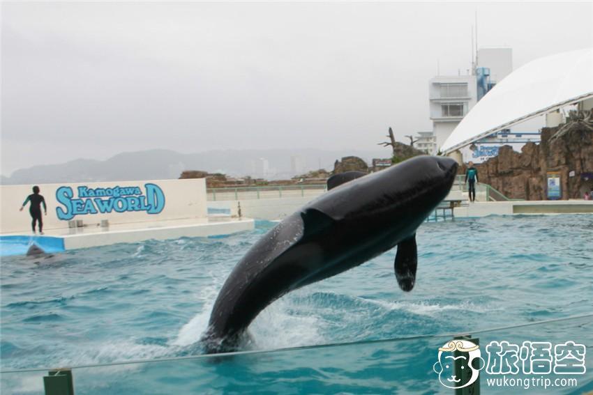 [东京出发]【东京周边亲子一日游】鸭川海洋世界看虎鲸表演+海萤岛观光